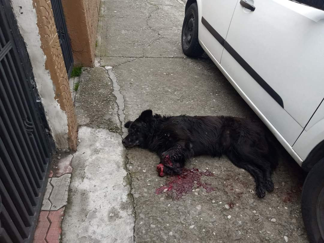 Only love can drive out hatred. Our hugest respect to the vet in Romania for saving this precious boy after a human cut his legs, and the best news that she has fallen in love and will be adopting him.