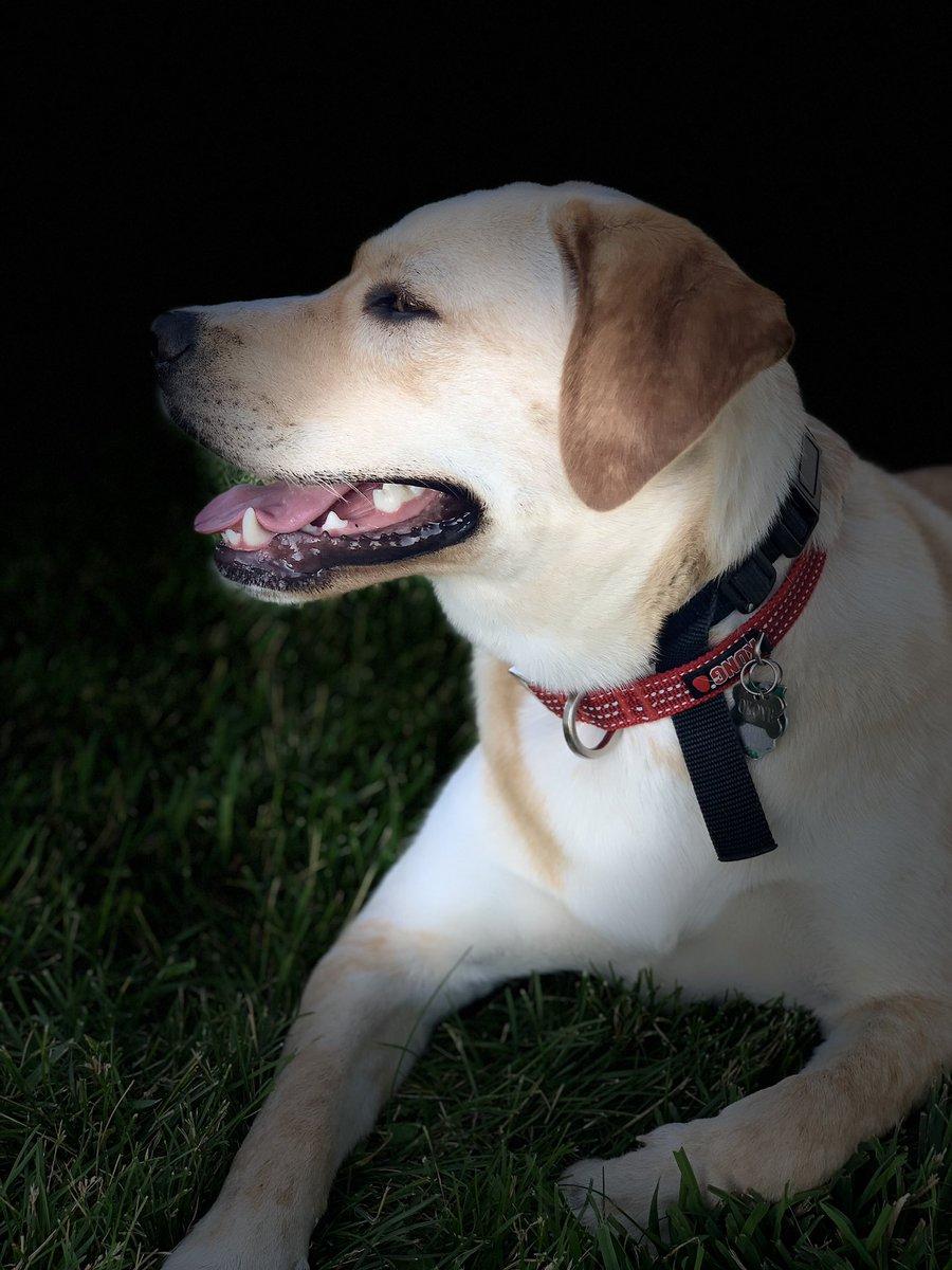 This is my dog-Okoye. She is an Aussiedor (Australian Shepherd/Yellow Lab mix) and she is 1yr old - HAPPY BIRTHDAY O!! U! pic.twitter.com/ZgiW6JiCXS
