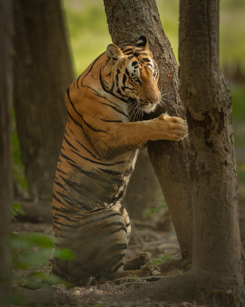 Animalsuse chemicalsignalingas a form of conveying information to other animals, in its physical absence. The olfactory signal can have along-lastingeffect than visible or auditorysignaling. #TigerTuesday  Photo + Caption: SaroshLodhi(@saroshlodhi)pic.twitter.com/y96XgYaRpO