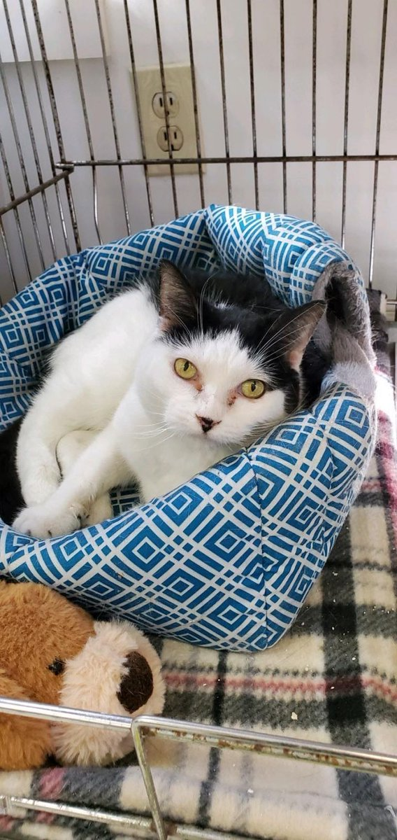 #CatOfTheDay Cecelia was very scared when she arrived at the shelter. Now is more comfortable & enjoys head scratches! Needs respectful, quiet, cat savvy, adult-only, dog-free home. Would love a cat tree/window seat! #Adoptable *by appointment only* at @FMASNH in Manchester #NH!pic.twitter.com/UzUo3vp2Eu  by New Hampshire Cats 🐱🐱🐱