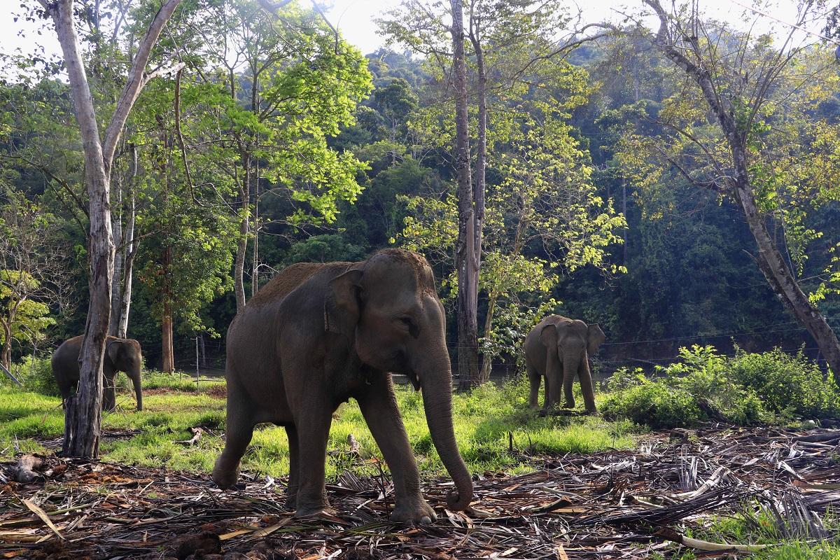 We love this photo of healthy, happy Sumatran elephants in the #LeuserEcosystem in northern Sumatra. Thanks to our friends at Forum Konservasi Leuser for the amazing work they do! 📸 Junaidi Hanafiah / FKL  #InternationalElephantProject #IEP #SaveSumatranElephant #LoveLeuser https://t.co/zgQKGFtTnX