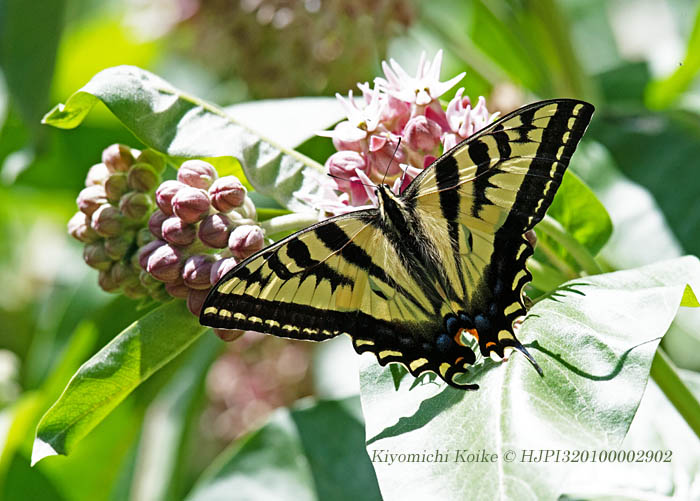 Eastern Tiger Swallowtail ヒガシトラフアゲハ Papilio glaucus  Copyright #HJPI320100002902 #tigerswallowtail #swallowtail #butterfly #insect #showymilkweed #milkweed #flowers #Colorado #nature #Nikon #nikonphotography https://t.co/pHMhCCkfCk