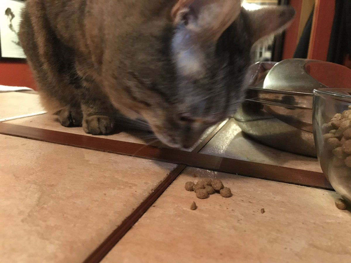 Fiona really likes treats. It's the first thing she asks for when we get home from work. Since I've been working from home she begs every time I take a break. It was too much so I started giving her kibble from her bowl as a treat. She's on to me. The jig is finally up #Caturday https://t.co/RehaMhG52v