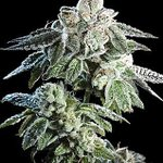Image for the Tweet beginning: Girls Scout Cookies by Burning