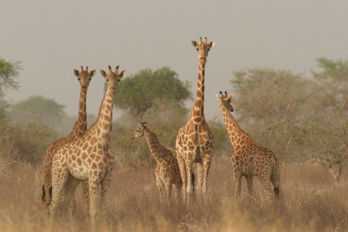 C'est aussi la journée mondiale des #girafes ! 🦒💛 #WorldGiraffeDay https://t.co/k7yyoDNLch