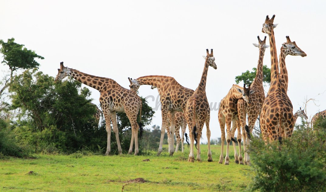 Today, in addition to celebrating #FathersDay, we celebrate the world's tallest animal, the Giraffe. #WorldGiraffeDay #GiraffeDay #Giraffe #conservation #wildlife #UgandaTour https://t.co/TUBPKzum6Q