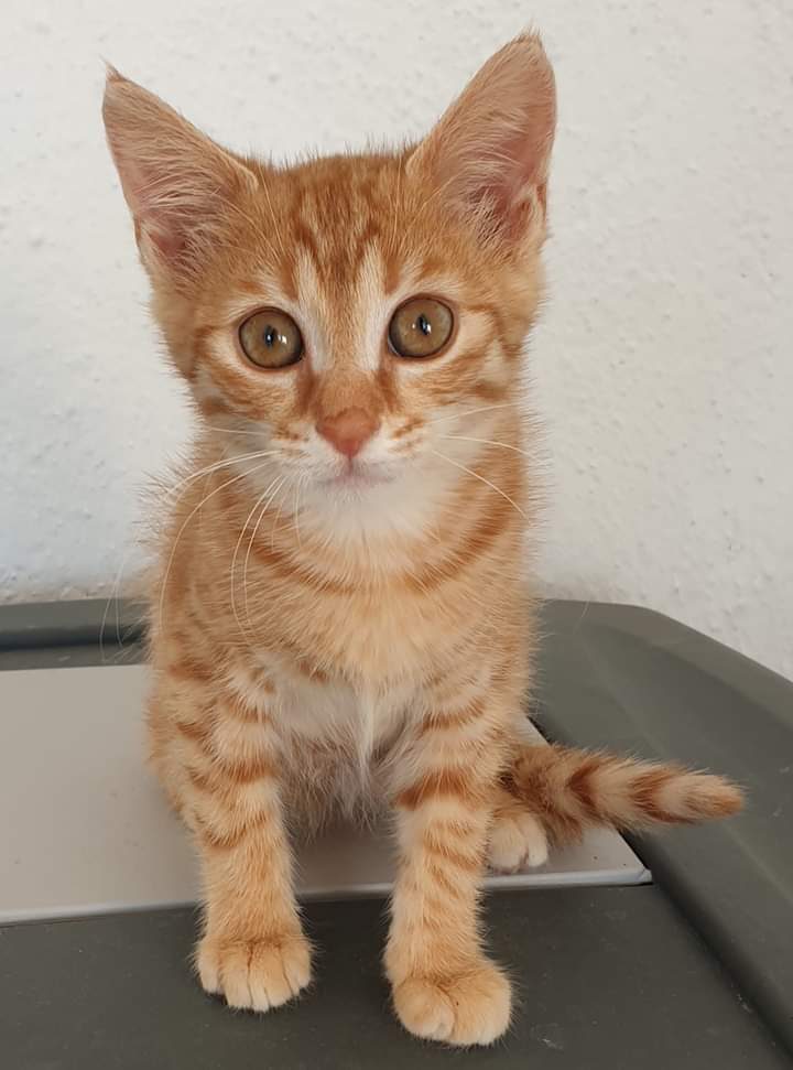 Hello! My name is Marmalade. I am a very playful girl, three months old. I love exploring and I am desperately looking for my human. Who wants to adopt the most special girl in the world?? #AMOS #AMOSShelter #shelterkitten #lookingforahome #animalshelter #AdoptDontShoppic.twitter.com/XhtkbKzivJ