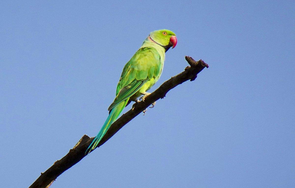 Сибирские попугаи фото