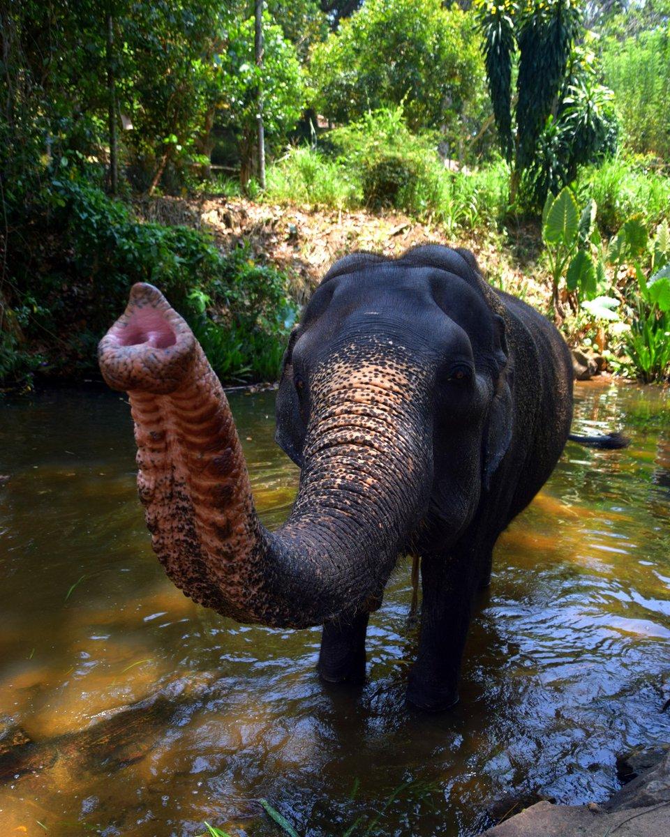 Menika wishes you a very happy sunday!   * #srilanka2020  #srilankatrip #srilankatoday #srilankatourism #srilankadiaries #elephants #elephantlover #elephantfamilies #elephantsofinstagram #loveelephant #walkwithelephantspic.twitter.com/BvB6txjHcf