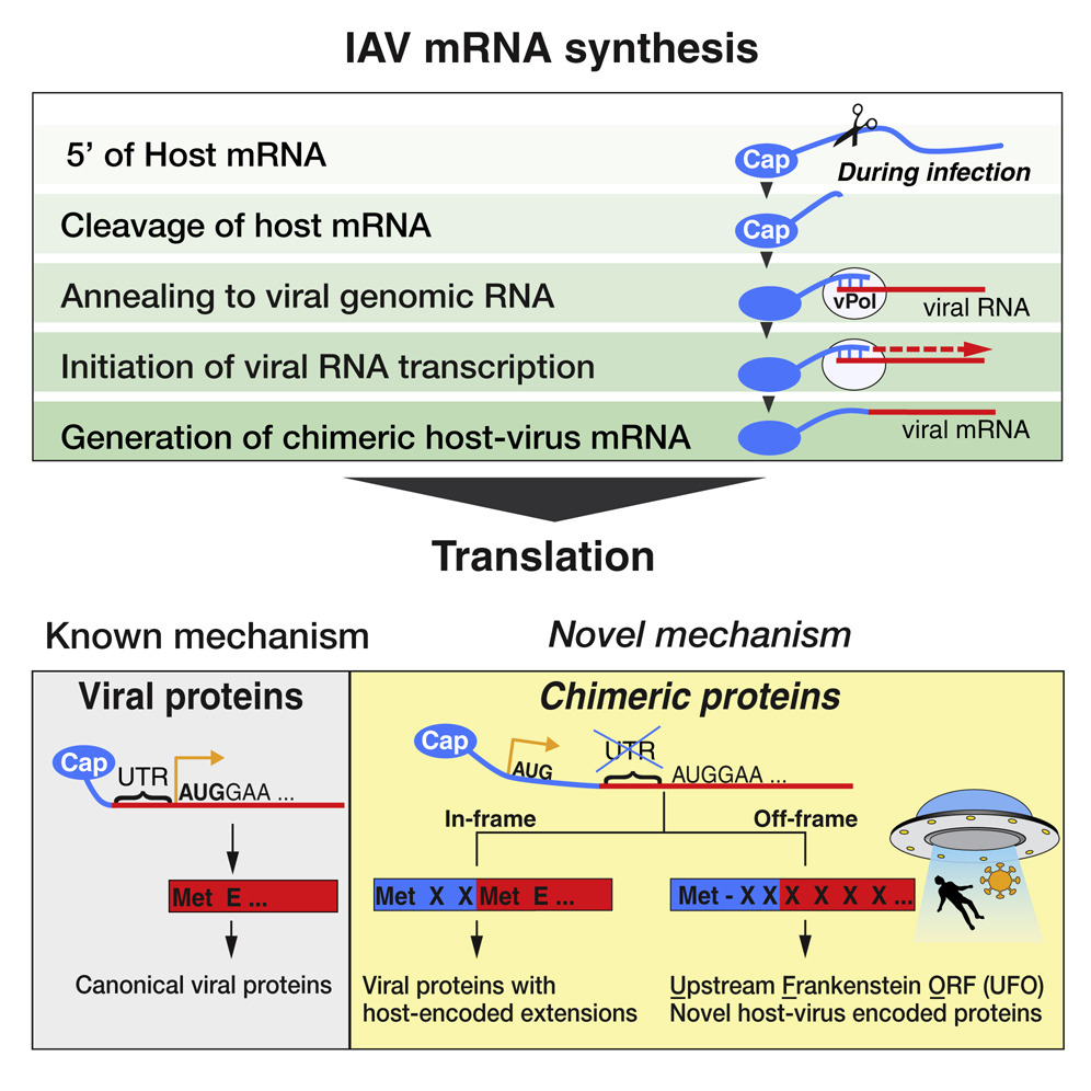 Now Online! The process by which #RNA #viruses cleave capped host transcripts leads to #hybrid proteins that generate T cell responses and contribute to #virulence. https://bit.ly/30So7b2 pic.twitter.com/SPHTP8jenb