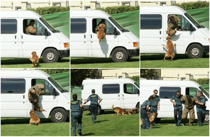 Algunos canes del #ServicioCinológico de la @guadiacivil han sido entrenados para neutralizar delincuentes peligrosos. Son muy útiles cuando ofrecen resistencia o intentan huir.  #SeguridadCiudadana #TrabajamosParaProtegerte https://t.co/KdpBdepC9o