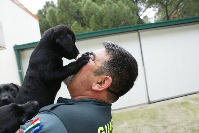 En la Escuela de Adiestramientos de Perros de la @guardiacivil el guía y el can crean un vínculo emocional desde que son cachorros. En el primer encuentro matinal surgen muestras de efusivo cariño.   #ServicioCinológico  #TrabajamosParaProtegerte con canes. https://t.co/arnrzHdRZZ