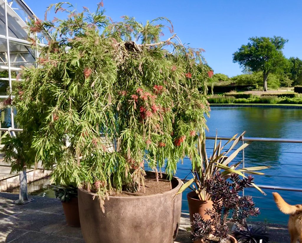 Don't miss these two absolutely beautiful bottlebrush plants from the @FibrexNurseries collection now residing @RHSWisley on the West Lakeside Terrace outside the Glasshouse (along with lots of other treasures including a flowering Agave victoriae-reginae!) 🌱