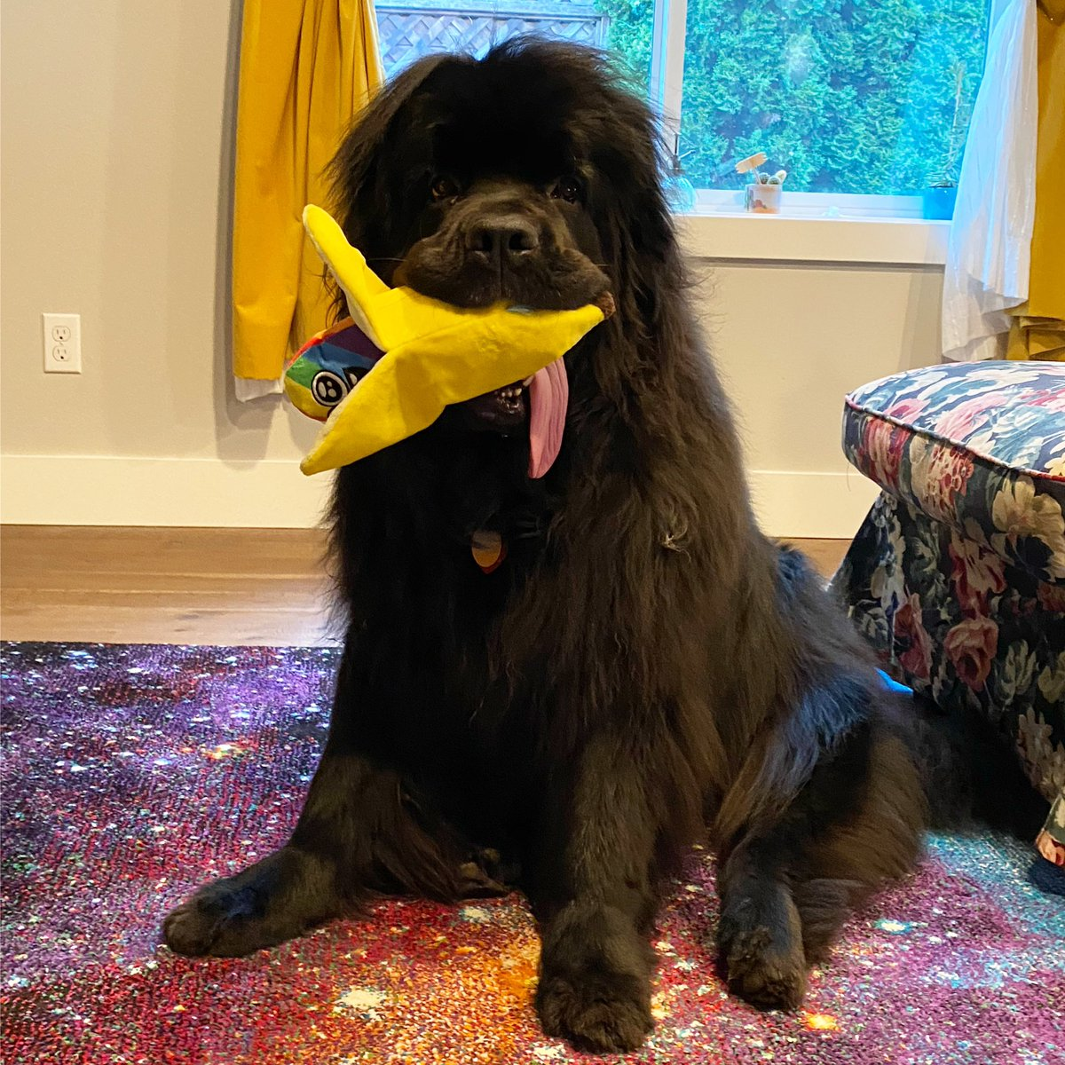 Sirius got a rainbow banana from @barkbox in the mail today! #barkbox #newfiesofinstagram #newfoundlandsofinstagram #newfoundlanddog #newfie #newfoundlanddogsofinstagram #newfies #giantdog #dogstagram #bigdogsofinstagram #newfie #bigdoggo #doggosofinstagram #doggosbeingdoggospic.twitter.com/tQG4lpI6ep