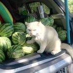 安心の警備隊?タイのスイカ農場を厳しく見守る猫ちゃん!