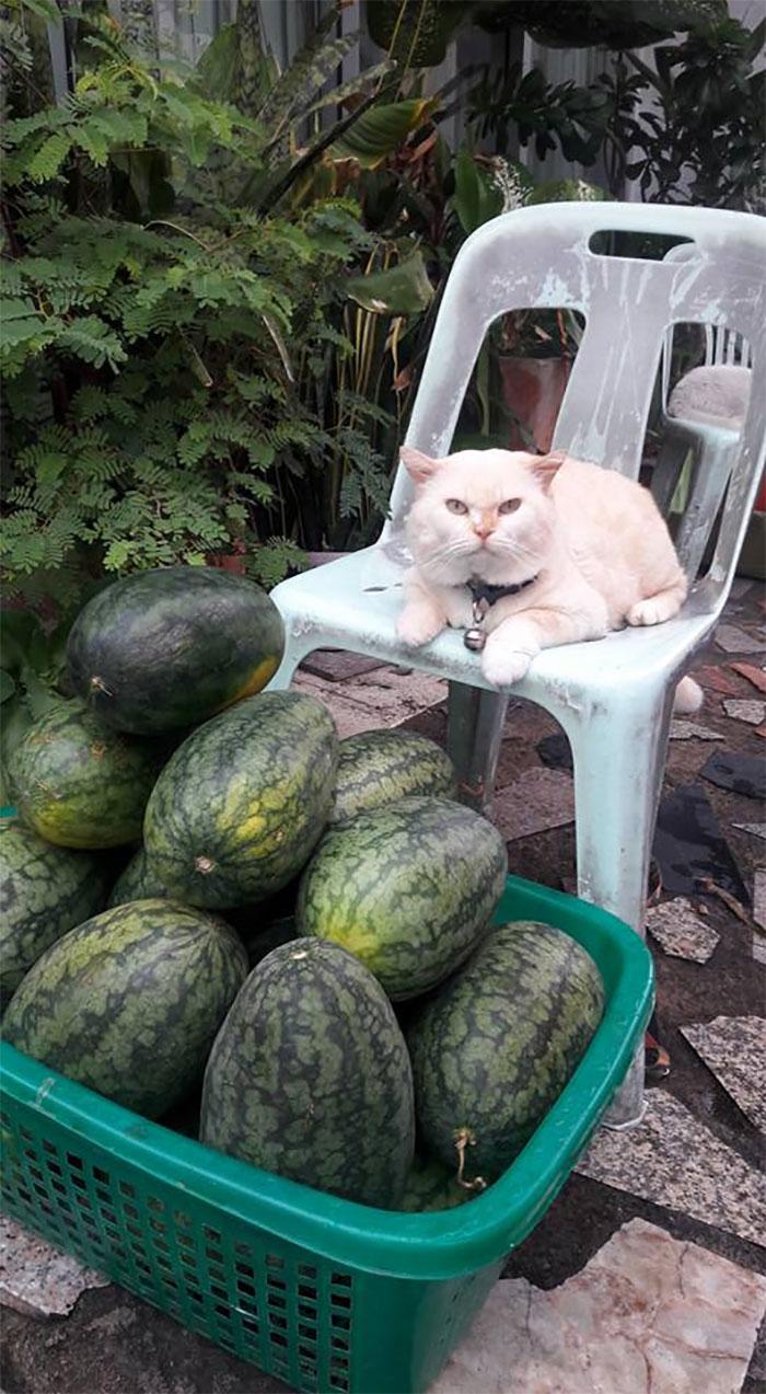 タイのスイカ農場を厳しく見守るPearlさんが大人気。怒り顔のネコは良いですね。
