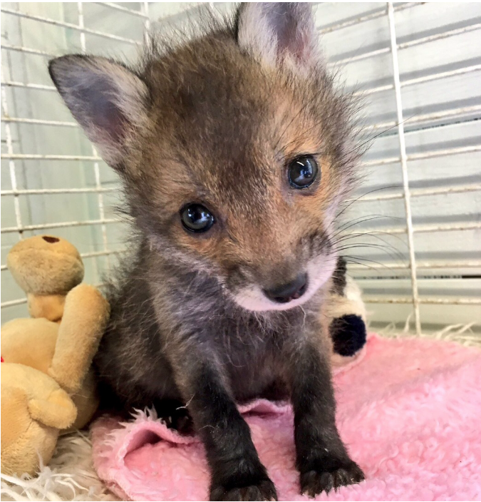 This weeks feature is @WildlifeOrphan1 a rescue based in #Yorkshire specialising in the care of young wild #animals & #birds. This is a very busy time of year & every donation supports these tiny orphans. 🥰 #charitytuesday Donate, follow, RT. 🙏🏻 ➡️ bit.ly/2BywihU
