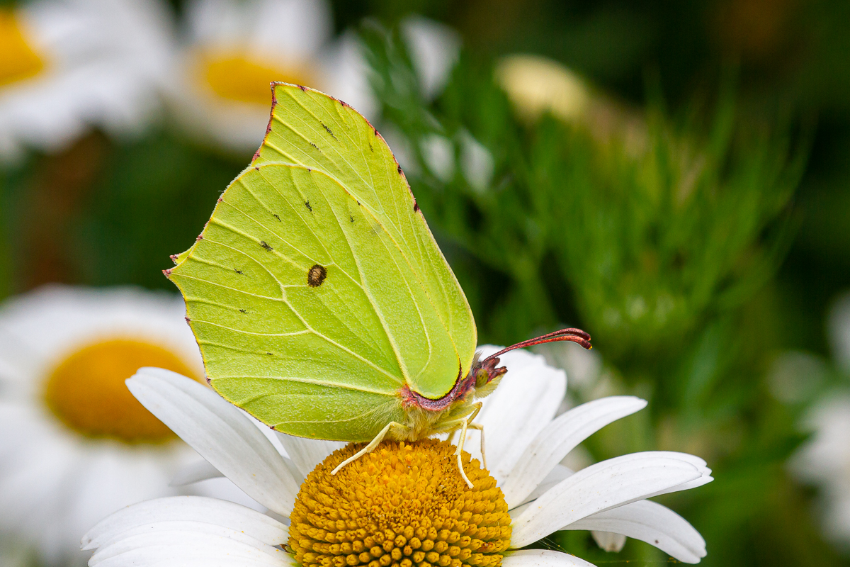 The Brimstone is our longest-lived butterfly - today I found this newly emerged Brimstone in the wildflower area in our garden, but also saw a female (that had overwintered as an adult) laying eggs on Alder Buckthorn in Pamber Forest! https://t.co/81piHRfUxq