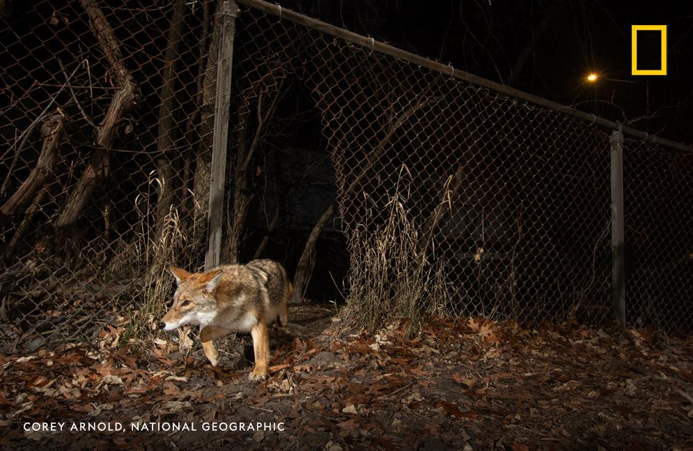 As their population quickly increases, coyotes are making suburbs and cities their playground. Find out how on this week's episode of #OverheardNatGeo https://t.co/uCy3TYEkZB https://t.co/jJlYgVpMmD