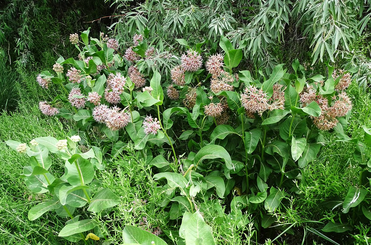 Showy Milkweed 1 of 4 - A Monarch's home. 💮   Milkweed plants are the only places Monarch butterflies will lay their eggs and the only food the caterpillars will eat.   #thenatureofthejourney #milkweed #showymilkweed #Asclepaisspeciosa #monarchbutterfly #Danausplexippus https://t.co/eiMDpHfxoM