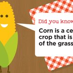 Image for the Tweet beginning: #FunFact: corn is also a