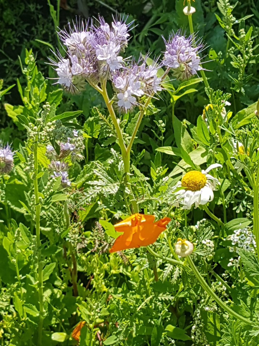 #UKHeatwave  We Love Love Love The Wildflower Garden We never planted any of These Brought here by the Birds & Adored by the Bees  #heatwave #WritingCommunity https://t.co/GD5tpxO4GN