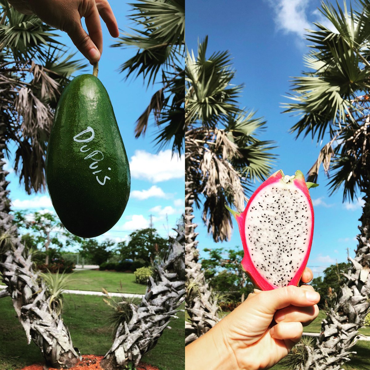 Two amazing tropical fruits we get to do research on 🤓👩🏼‍🌾 @UFTropical