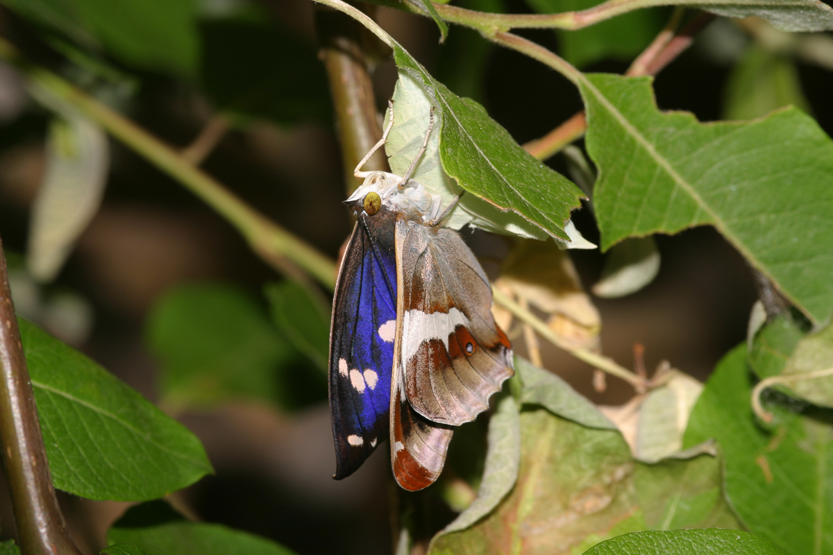 Seeing a photo of a crippled butterfly with malformed wings, caused by the ignorance of the photographer, makes my blood boil 😠 If you see a newly-emerged butterfly inflating its wings, LEAVE IT ALONE! I seem to post this annually. On a lighter note, a Purple Emperor ... 😎 https://t.co/E2CTGXLRjo