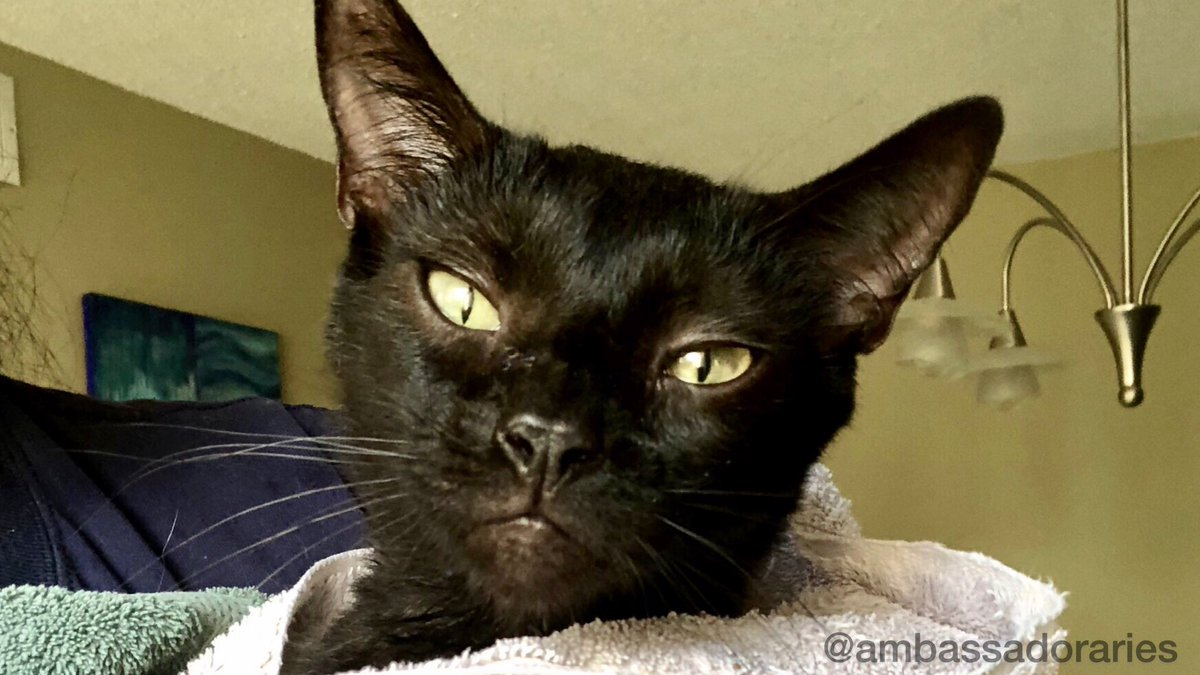 Notice the towels... Happy WW, which really stands for Wicked-Mom Wednesday today! Just because I fell down in the litter box and got dirty in the courtyard doesn't necessarily mean I needed a bath. I need a lawyer. #CatsOfTwitter #cat #cats #WednesdayThoughts #catsofinstagram <br>http://pic.twitter.com/RimciCtTuu