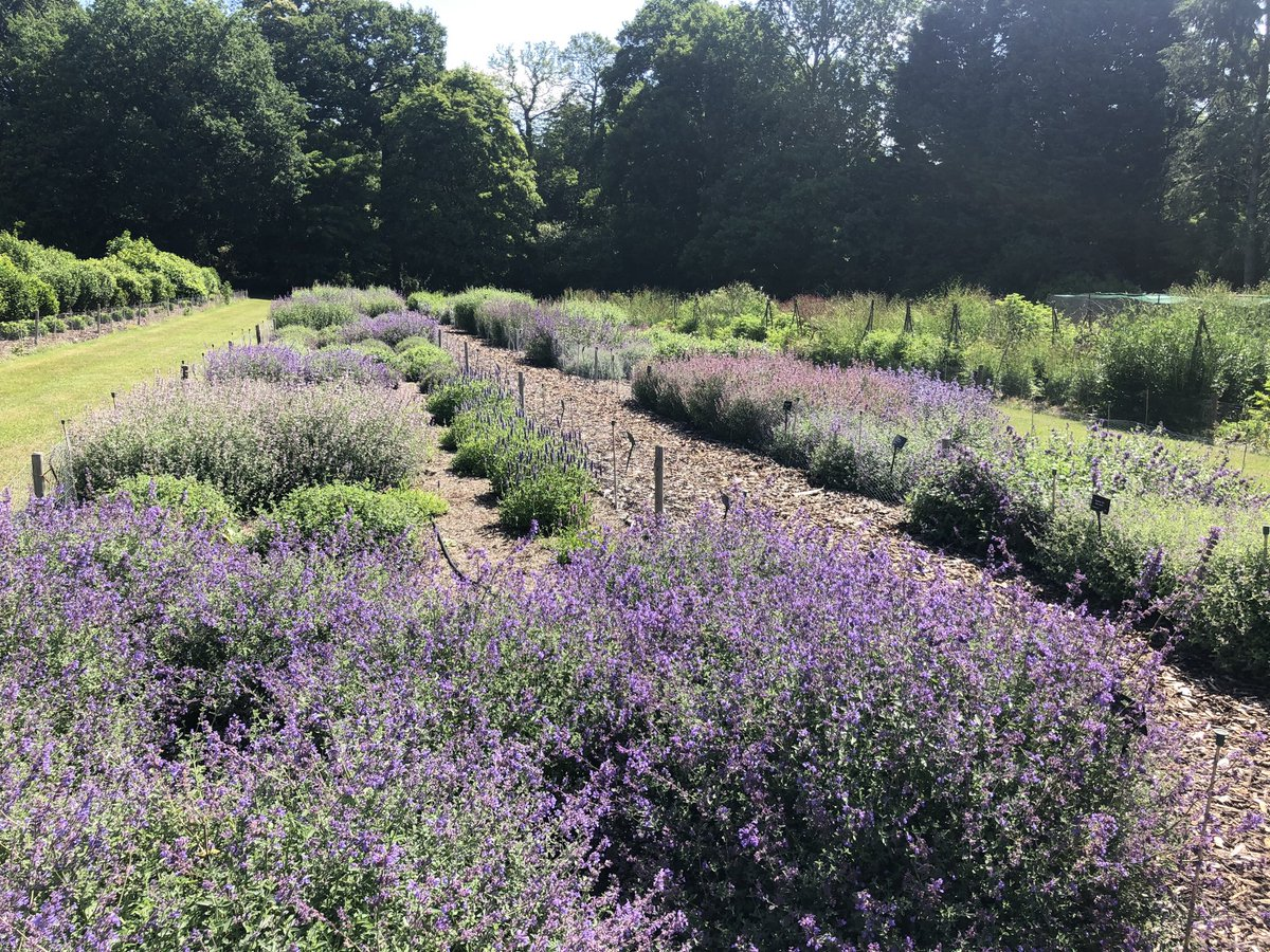 The Nepeta trial is putting on quite a show now on the Trials Field at Wisley now. @The_RHS @RHSWisley #gardening #horticulture #plants #flowers #trials