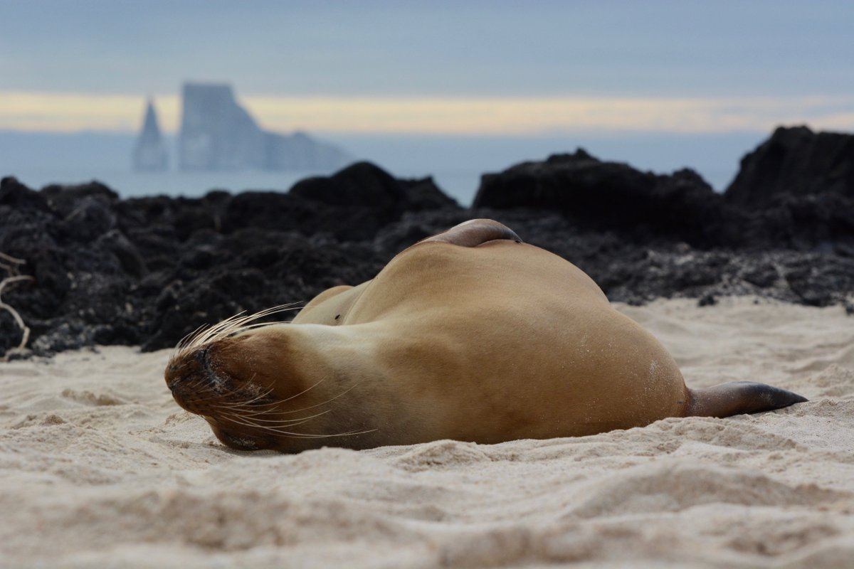 When you're on #holiday are you the sea lion relaxing on the beach or the turtle swimming in the sea? 🤔  Hands up who's dreamed of exploring the volcanic landscapes of the #Galapagos Islands and discovering the incredible #wildlife native to the archipelago? 😍🙌 https://t.co/V6iGtPON5K