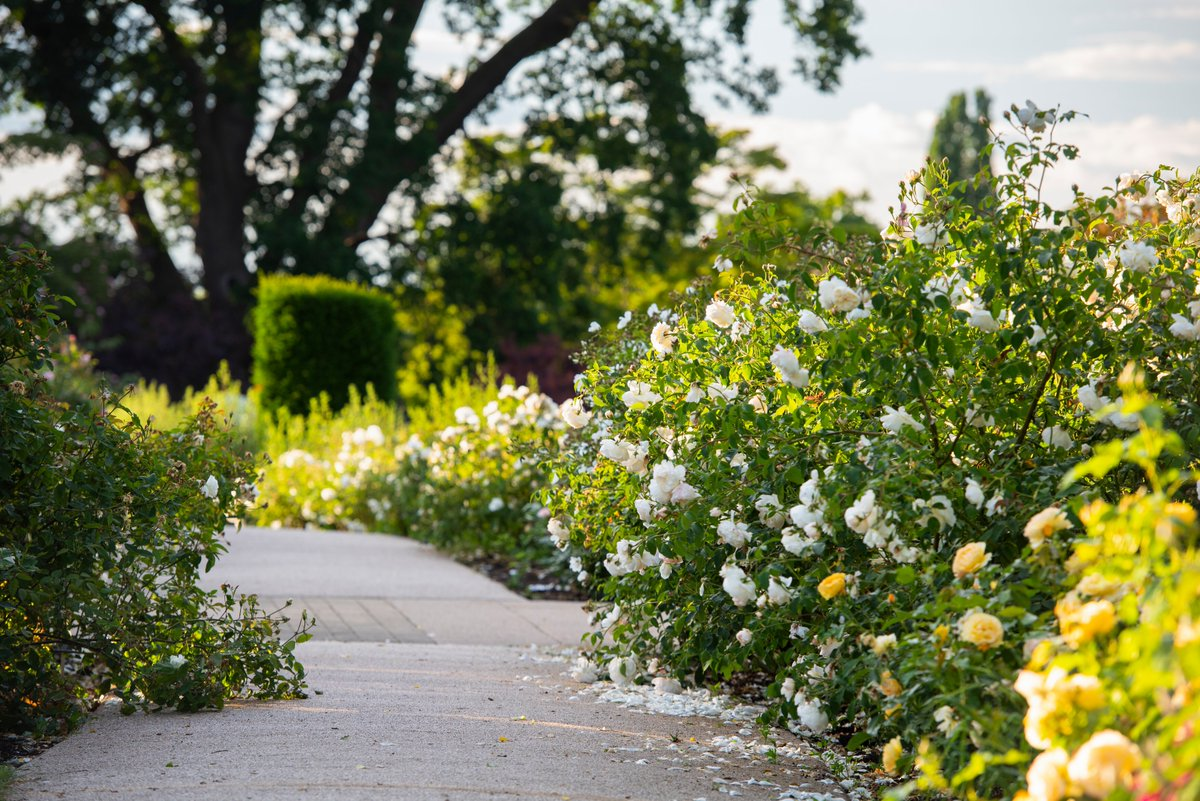 #SummerGardenDays at @RHSWisley this June. How are you enjoying nature while the weather is so fine? Share your garden with us by tweeting a picture with the hashtag #SummerGardenDays 🌹 📷 Rosa Lichfield Angel = 'Ausrelate
