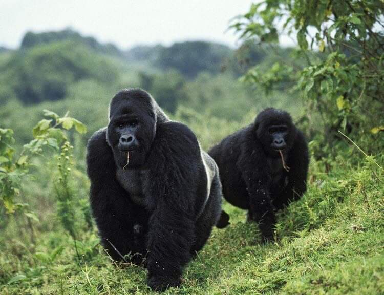 Winter, to most, might bring thoughts of snow, cold and snuggling in bed with #COVID19 pandemic stress but #Uganda offers that warmth you need, the rich #wildlife and #culture that  can give you stress vaccine! Book your big #GorillaSafari with us today #VisitUganda https://t.co/Mgz5NAnGPI