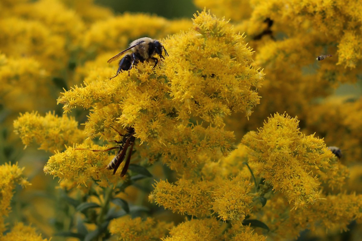 #PollinatorWeek reminds us that our future flies with healthy pollinators. Pollinators play a part in producing one out of every three bites of food consumed, including berries, pumpkins, potatoes, almonds and chocolate. https://t.co/nWg2wfxvHi Photo by Courtney Celley/USFWS https://t.co/3t5VCbJlQH