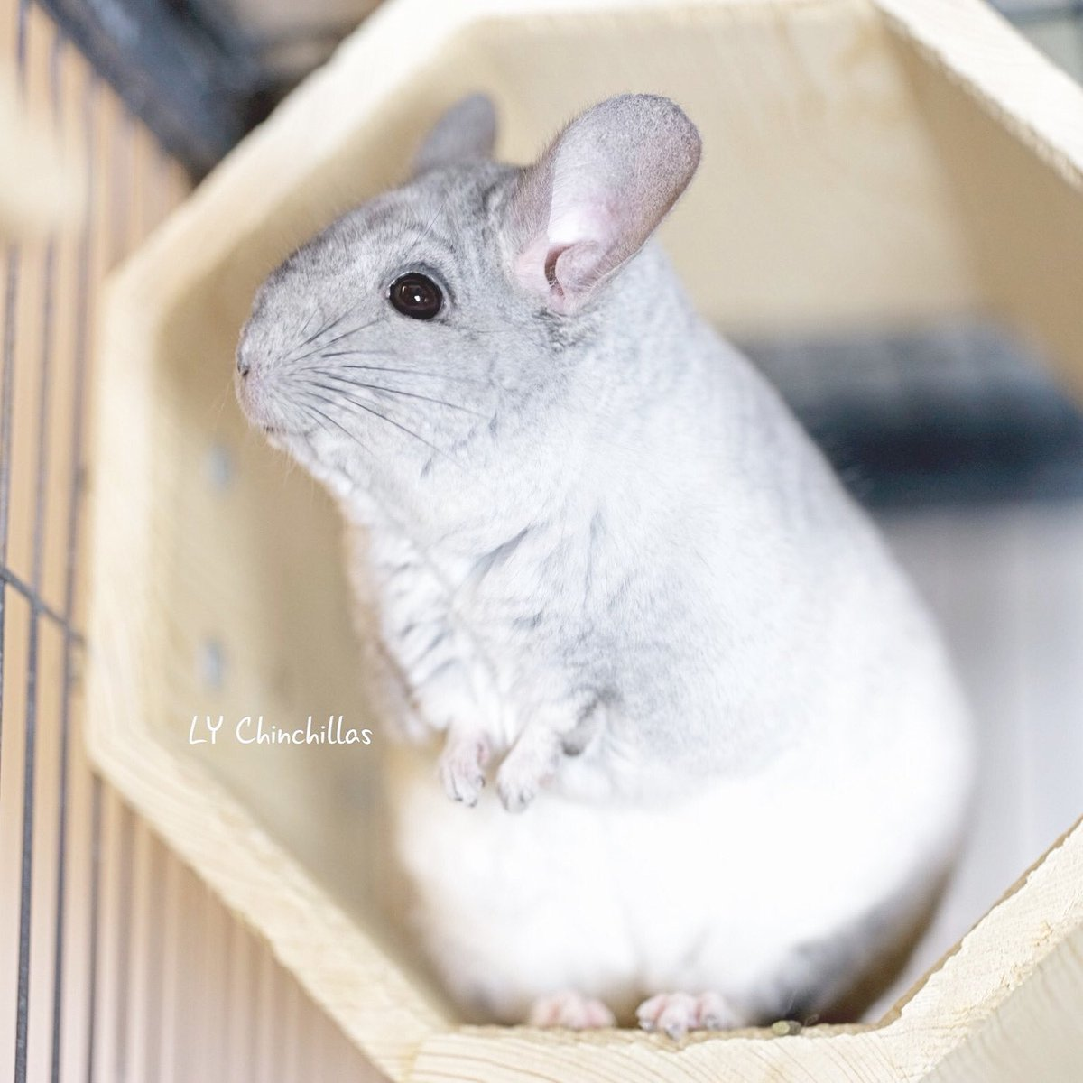 Smiling into summer! Lulu is ready for an air-conditioned afternoon.   Visit us at http://LYChinchillas.com  today!  #chinchilla #cutenessOVERLOAD #cuteanimals #cutepetclub #cuteanimaltweetoff #petsofinstagram #チンチラ #LYChinchillaspic.twitter.com/bc76PilC62