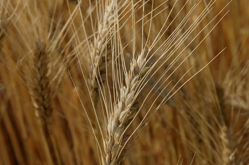 NEWS: @USDA_NIFA has awarded @KState $1 million to establish the International Wheat Yield Partnership's Winter Wheat Breeding Hub. #KSRE 🌾 https://t.co/c7DK4U3D54 https://t.co/ui2UaTTkxO