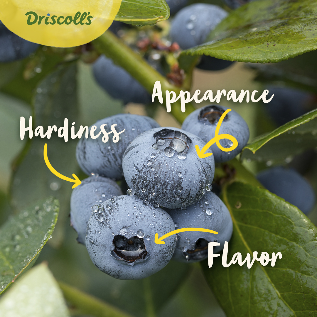 Flavor, hardiness, appearance: #Driscolls Joy Makers use #crosspollination to improve proprietary #berries and give our #berry fans more of what you want.🔵🍃 https://t.co/PH18gclcvi