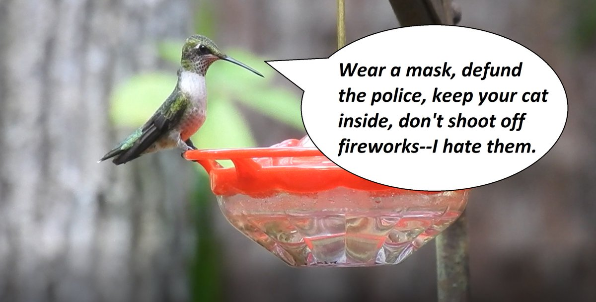 The hummingbird I encountered yesterday was very vocal and had lots to say.