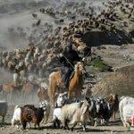 Image for the Tweet beginning: 每年5月底6月初,正值新疆阿勒泰地區百萬牲畜大轉場的季節,當地哈薩克族牧民們攜家帶口,牽着載滿氈房、生活用具的駝隊,趕着牛羊浩浩蕩蕩地由春秋牧場轉向高山夏牧場。成千上萬的牲畜,組成大大小小的遷徙團隊,綿延數十公里。#魅力中國