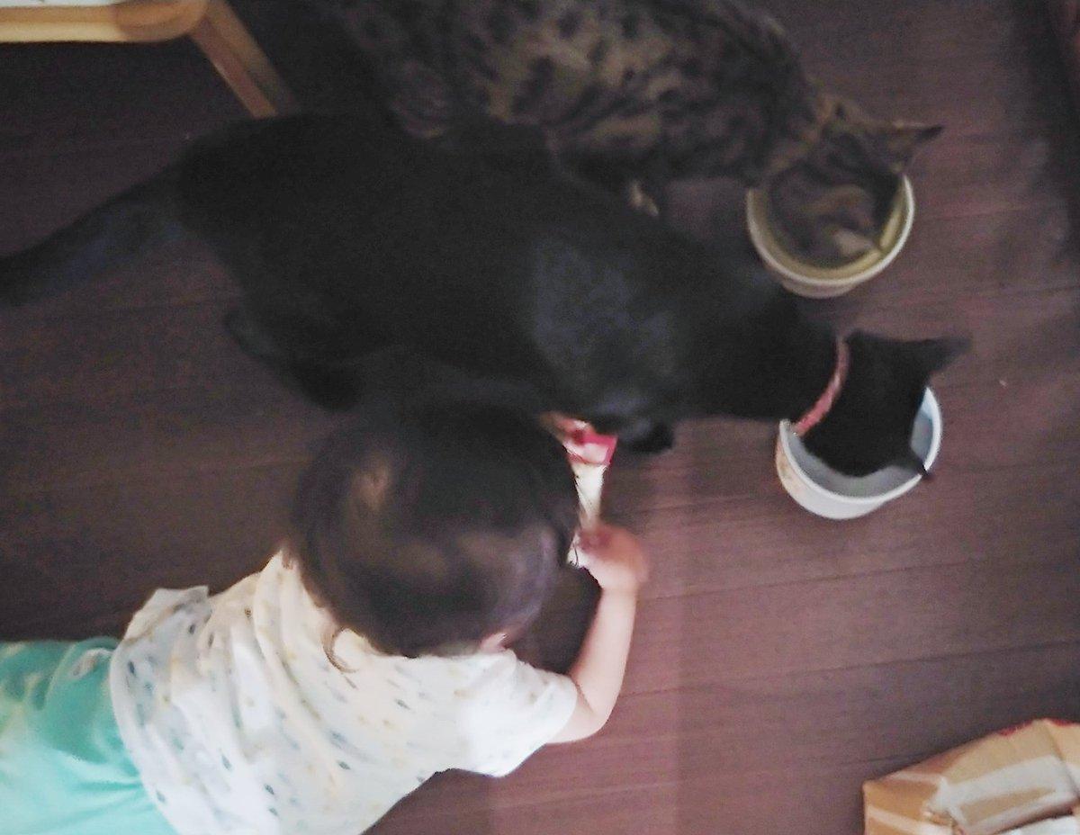 806日目。大好物のチーズを与えられた1歳児、開けようとしたら「じぶんでやる!」とばかりに嫌がった。どうするか見ていたら結局開けられず、ちょうどごはんの時間だった猫らに近付き、食べる様子をガン見。しかし猫らは1日2回のビッグイベント・GO HA Nの真っ最中。1歳児には目もくれなかった。