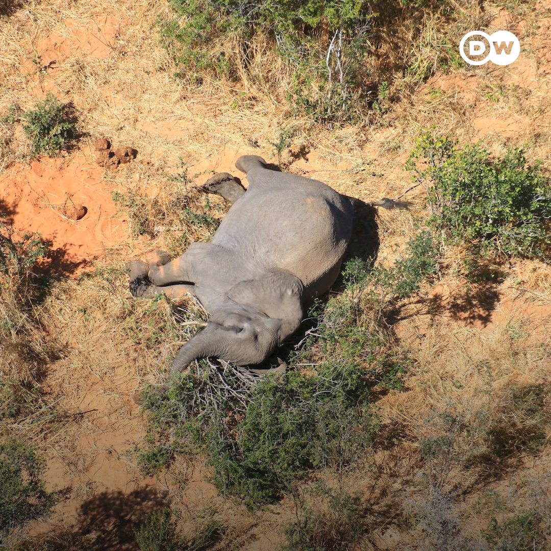 Something is killing elephants by the hundreds in Botswana — and it's not poachers.
