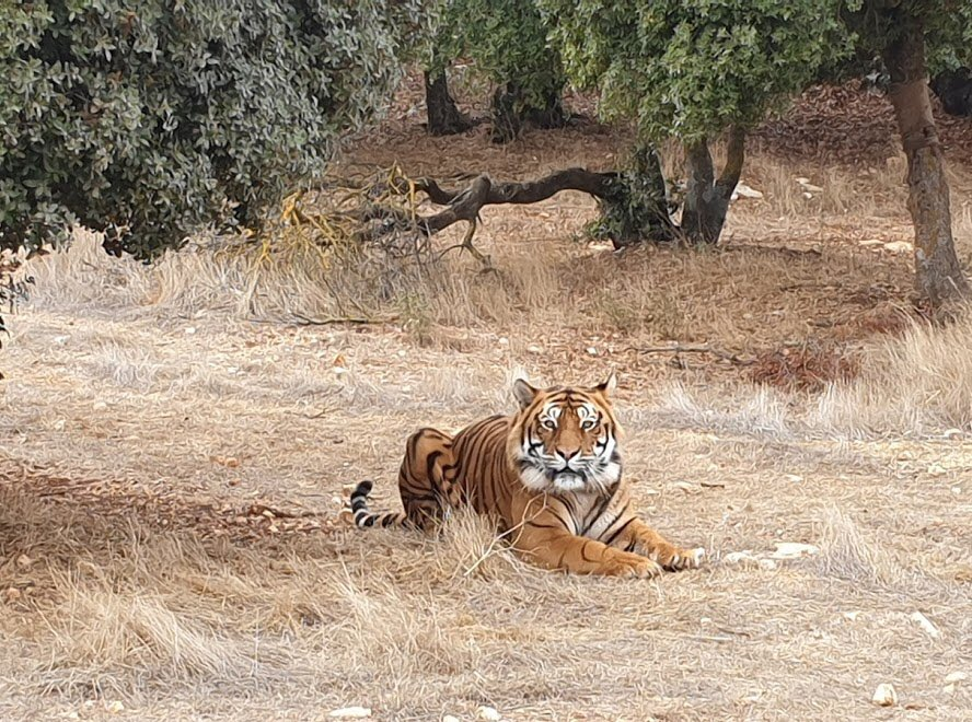 Where to go this weekend? Meet Balou, Lula & Cassie at the wonderful  #Al Ma'wa Animal Sanctuary, off the Jerash road, for animals & birds rescued from regional conflict zones. Tigers, lions, wolves, Syrian Brown Bears, hyenas, monkeys: & they really need yr support @UKinJordan https://t.co/6fThiOOmiC