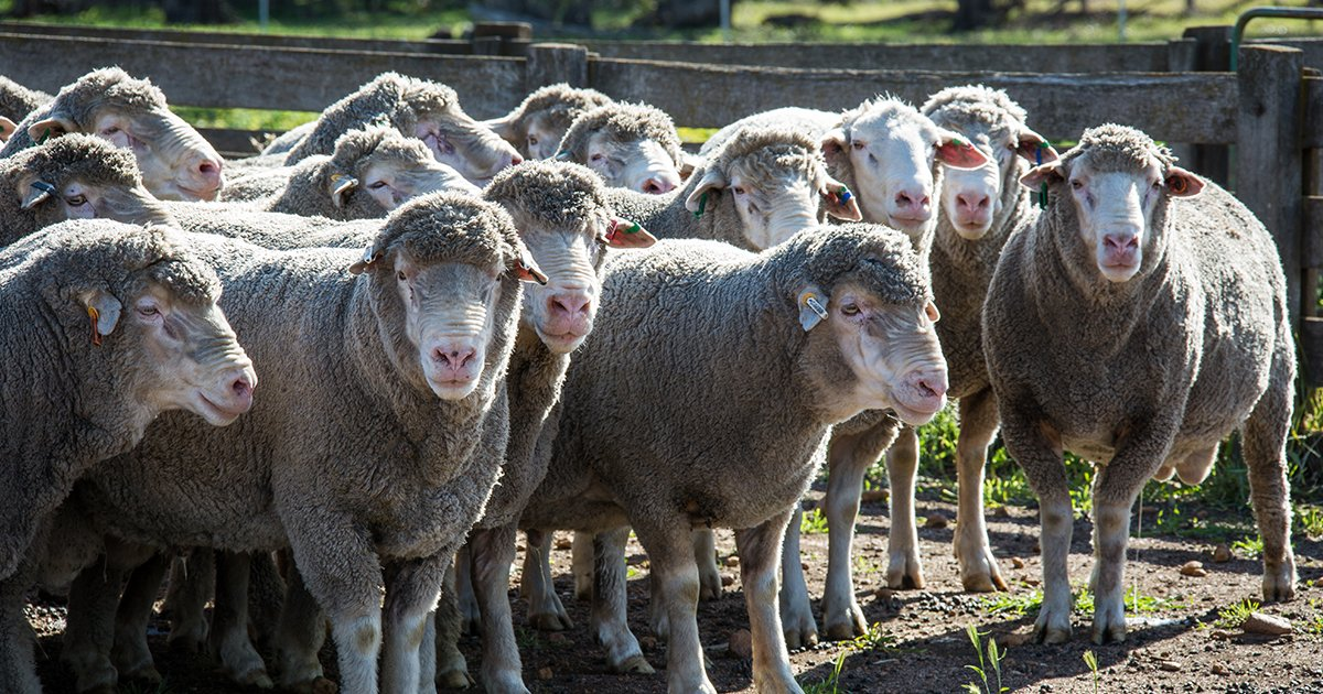 Lamb and sheep slaughter have contracted significantly this week, with prices declining sharply amid waning demand 🐑👉  https://t.co/tfhkBe3QZ7 #AusAg #AgChatOz https://t.co/KTAh5bBAK1
