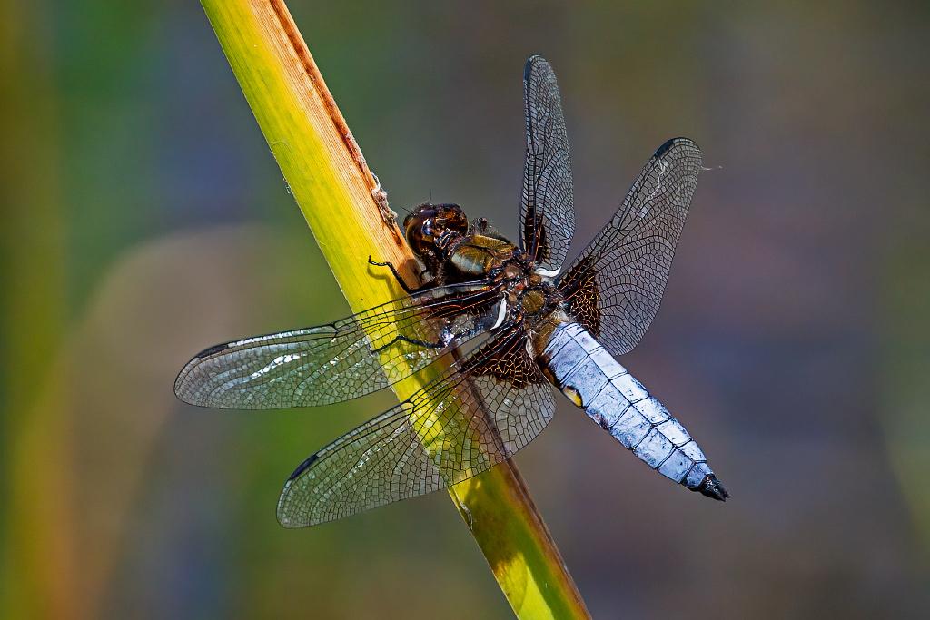 Male Broad-bodied Chaser (Libellula depressa) Taken at Norton Bog, Staffordshire, UK 26/06/2020 @StaffsWildlife @UKdragonflies @NatureUK @Britnatureguide  #broadbodiedchaser https://t.co/DRuaik6wDW