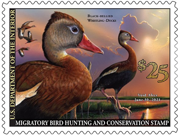 Here it is! The 2020-2021 Federal #DuckStamp featuring a black-bellied whistling-duck pair, painted by Eddie LeRoy of Alabama. Put Your Stamp on Conservation!  https://t.co/OYk2MM14NU https://t.co/wmguRifMLu