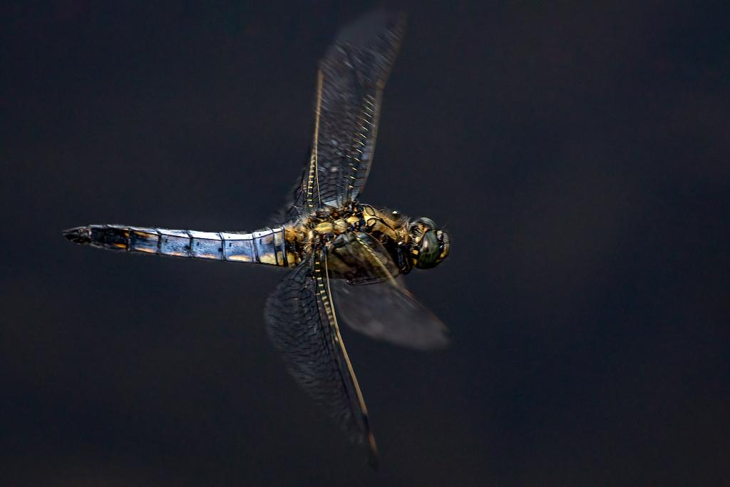 Male Black-tailed Skimmer (Orthetrum cancellatum) Taken at Norton Bog, Staffordshire, UK 26/06/2020 @StaffsWildlife @UKdragonflies @NatureUK @Britnatureguide #Blacktailedskimmer https://t.co/WxM9hgeJuo