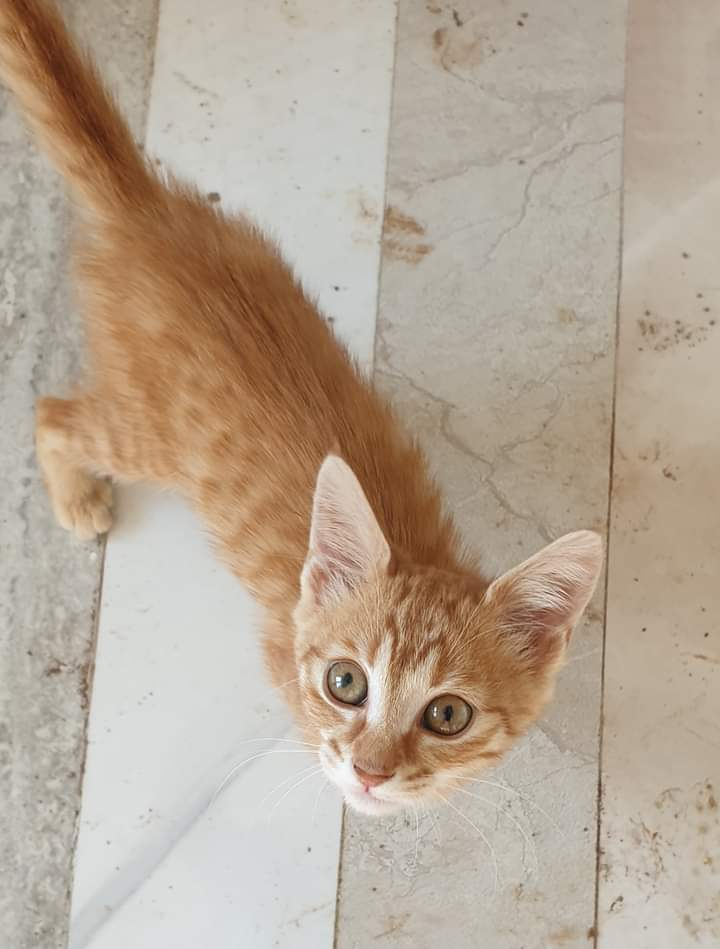 #Marmalade is still looking for a home!  A shelter is NOT a home #AMOS #AMOSShelter #animalshelter #shelterkitten #lookingforahome #AdoptDontShoppic.twitter.com/HHOCtgcwCN