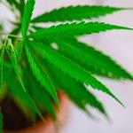 Image for the Tweet beginning: #cannabis #marijuana #weed 'Slavery victim'