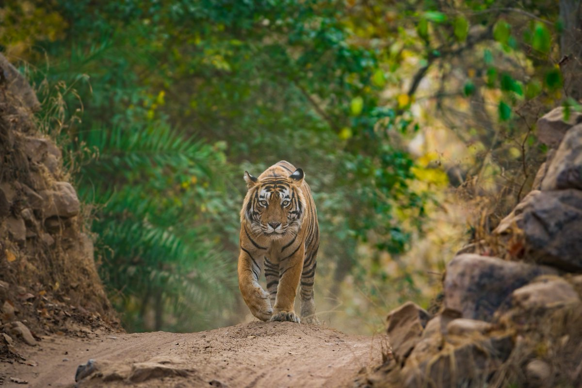 Ancient trees wrapped in coiled creepers? The scuttle of a porcupine or a jungle fowl? The soothing atmosphere and the thrill of seeing the big striped cats of the Indian wildlife landscape, Ranthambore wildlife sanctuary checks all these boxes.  ©Sourabh Bharti/Shutterstock.com https://t.co/CiRl1ZI29l