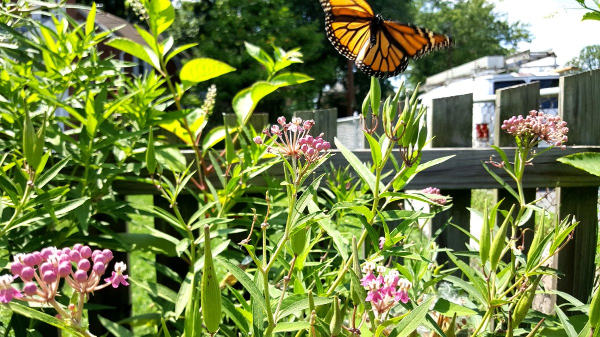 We can't let #PollinatorWeek end without mentioning one of North America's most famous pollinators: the monarch butterfly.  Everyone can help this beauty. Here are 7 tips for a successful monarch butterfly pollinator garden https://t.co/yNMqV0GQdU Photo by Levi Novey https://t.co/mWXSmSP9ZC